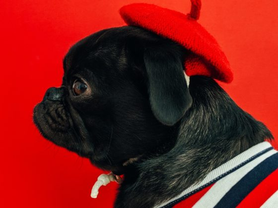 French bulldog with red beret and stripped sweater. CX by Design